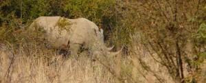 Zuid Afrika Bushveld Neushoorn