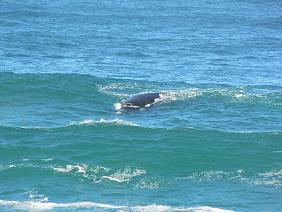 Natuur Zuid Afrika Walvis