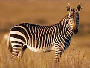 National Parken Zuid Afrika - Mountain Zebra